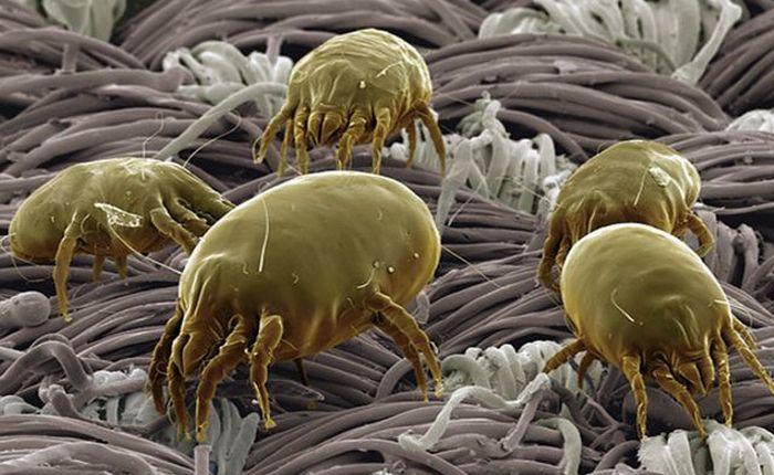 Клещи пасутся на ковре (фото с электронного микроскопа).