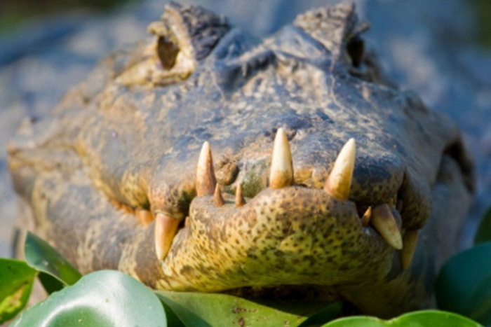 Крокодилий навоз как средство контрацепции.