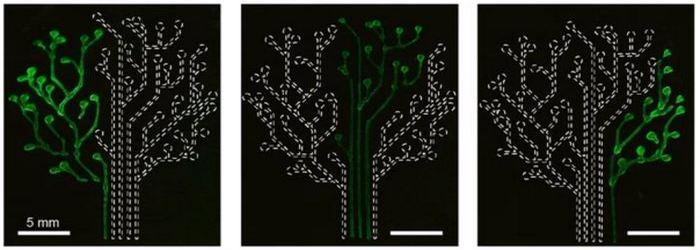 Бактерии успешно подсвечивают «ветви дерева».