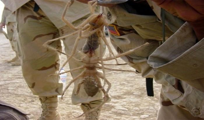 Гигантский верблюжий паук в Ираке.