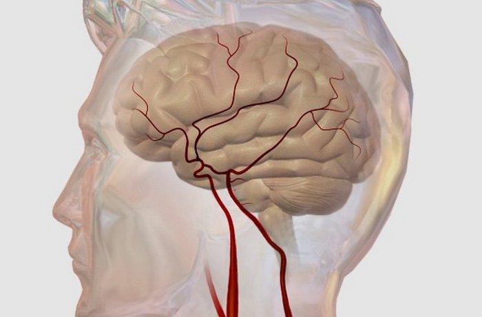 Кровоснабжение мозга как определяющая интеллекта.