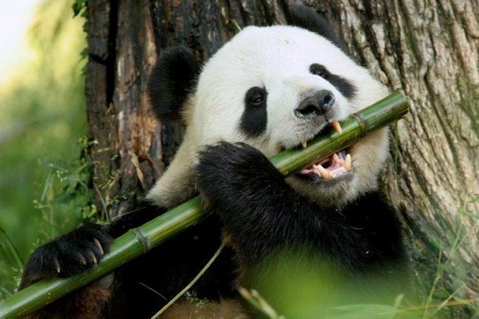 Китайская «дипломатия панд».