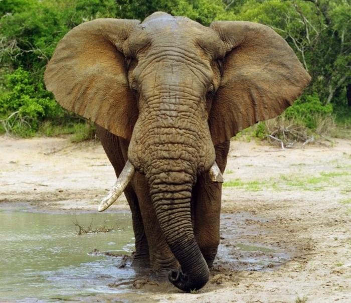 Со слонами на пляж не ходить.