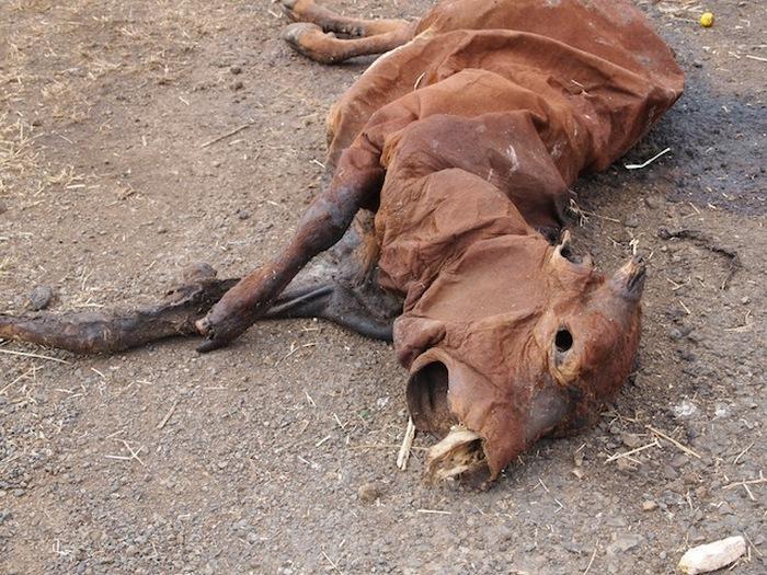 Дохлая корова - гроза афганцев.