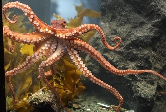 У осьминогов не восемь ног.