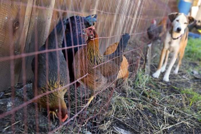 Тоннель для кур поможет обезопасить грядки от когтей и клювов.