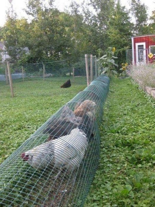 Тоннель для куриц - спасение для тех, кто занимается разведением домашней птицы.