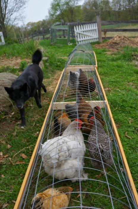 Тоннель для куриц можно легко и просто сделать своими руками.