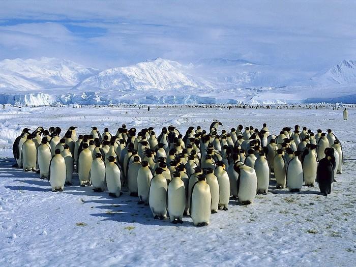 Освідчення в коханні за допомогою фекалій антарктичних пінгвінів