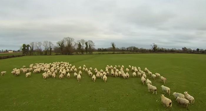 Беспилотник выгоняет овец на пастбище