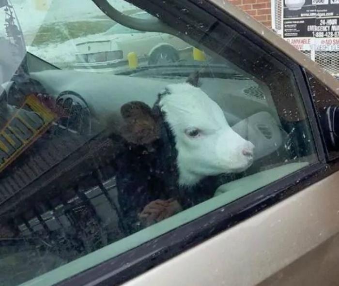 Теля в машині.