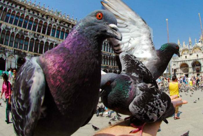 В Италии запрещено кормление голубей. | Фото: Лучшая подборка.