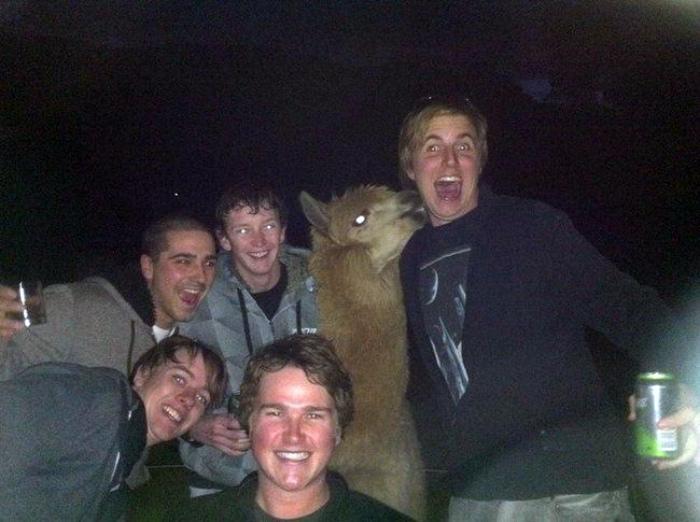 Веселая компания пьяных людей и ламы.