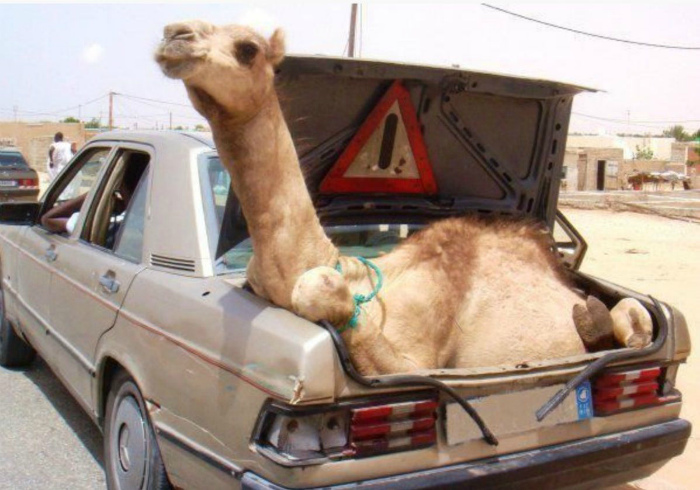 Перед тем, как закрыть машину, не забудьте достать верблюда из багажника! | Фото: Pinterest.