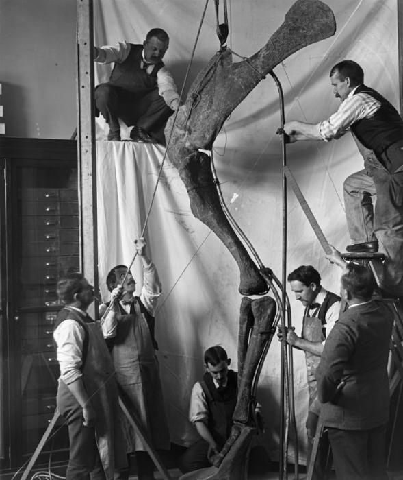 Работники музея вместе с археологами собирают ногу динозавра, 1916 год.