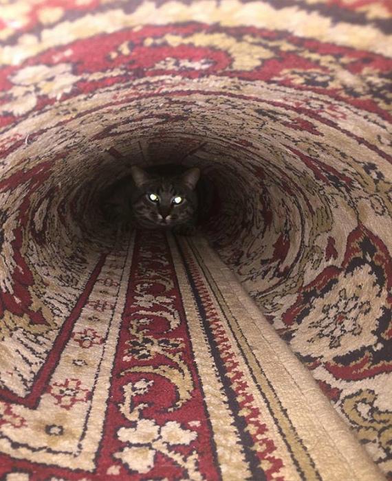 Ковровый ролл с котом.
