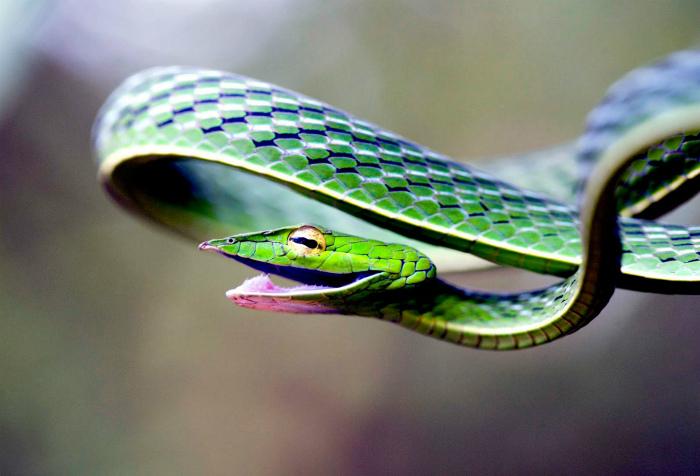 Травянисто-зелёная плетевидка.
