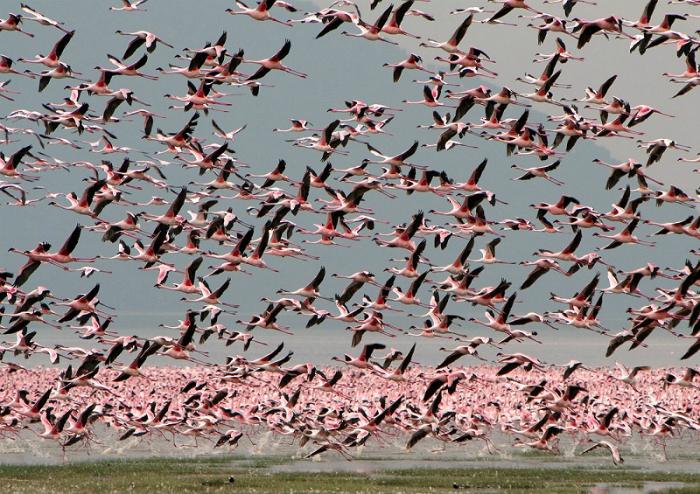 Миллионы розовых фламинго на озере Накуру.