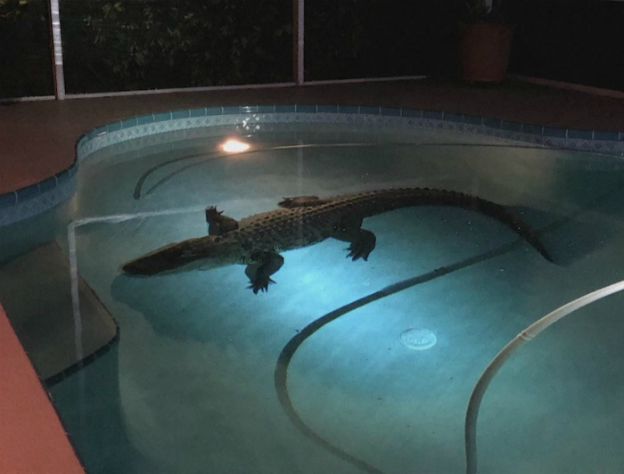 Кто пригласил крокодила в наш бассейн? | Фото: Netti-TV.