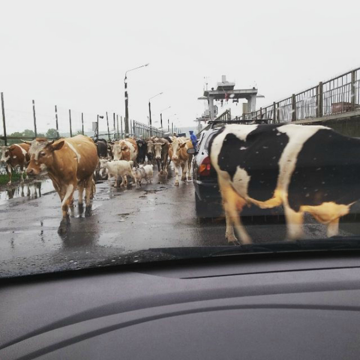 Козы и коровы.