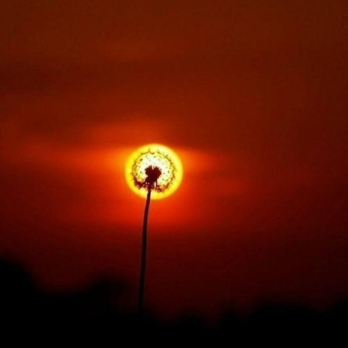 Одуванчик на фоне солнца.