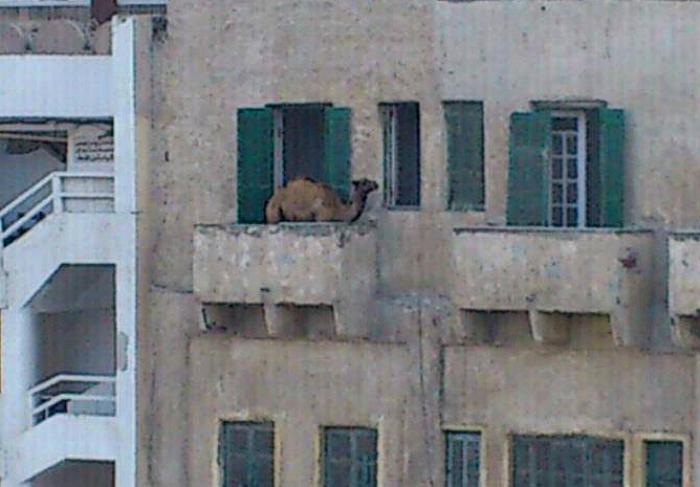 Верблюд на балконе.