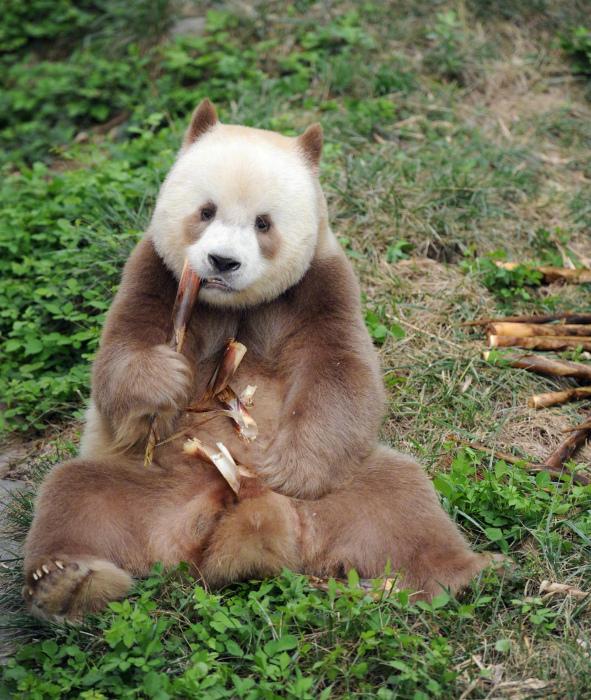 Редчайшая коричневая панда. | Фото: Inkstone.