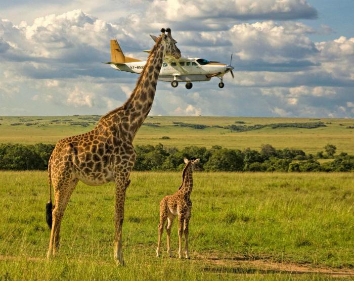 Жирафы играют.