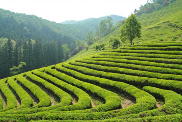 Посетить чайную плантацию и поучаствовать в фестивале.