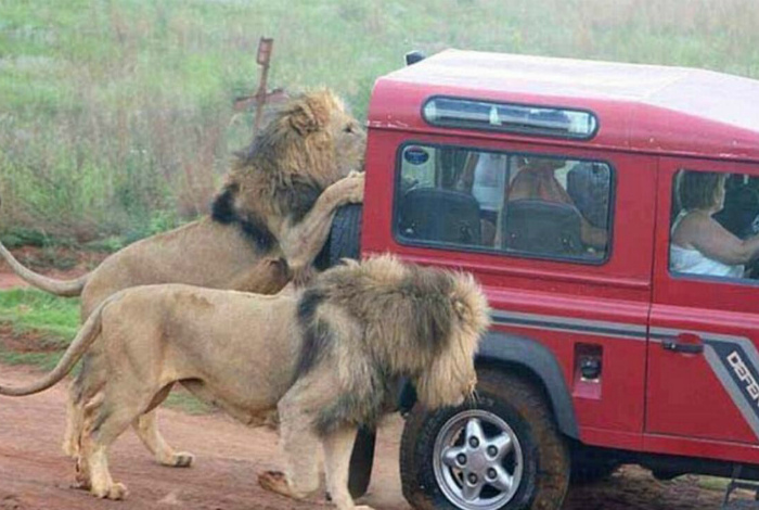 Львы спешат на помощь.