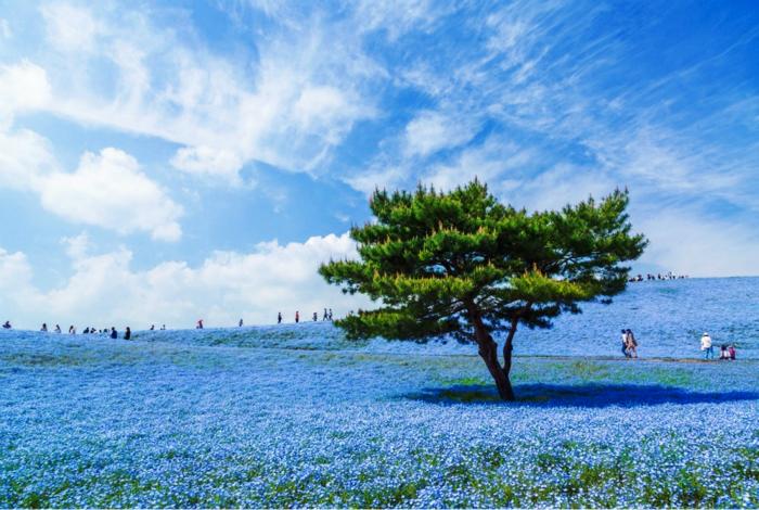 Цветущий парк Hitachi в Японии.