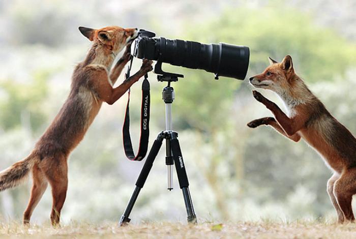 Фотосессия двух лисиц.