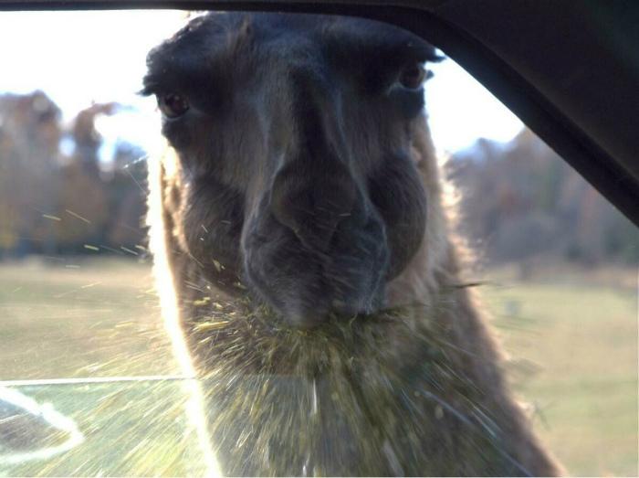 Лама... Милее животного не встретишь. | Фото: Seldon.News.