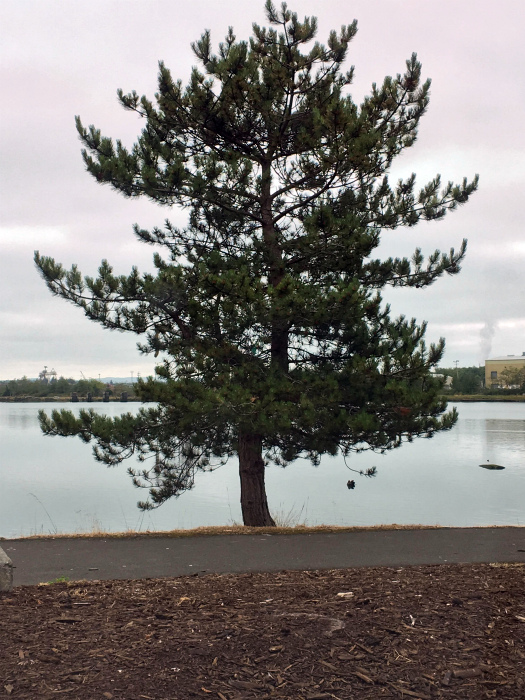 Дерево, ветка которого стала стволом.