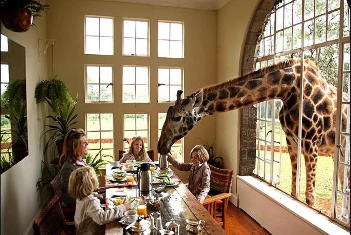 Любопытный жираф.