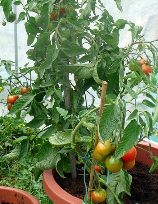 Вкусные помидоры на грядке.
