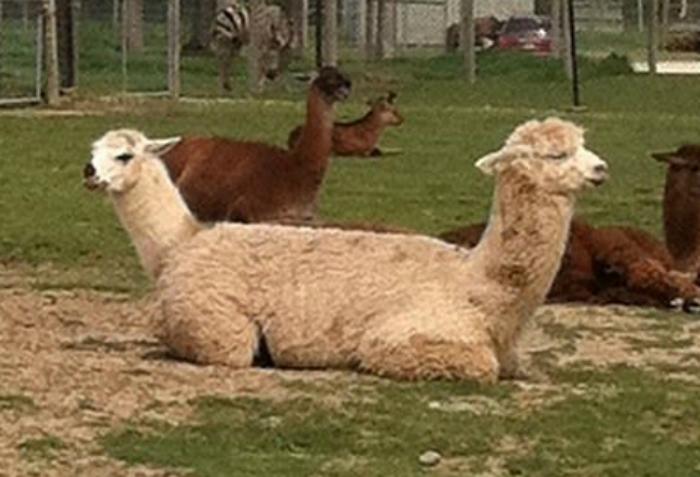 Двухголовая лама – достопримечательность нашего зоопарка.