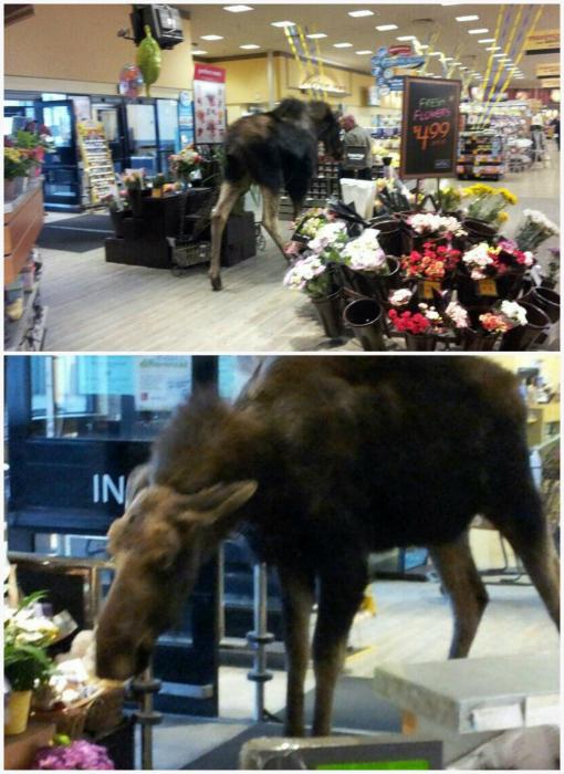 Лось в супермаркете.