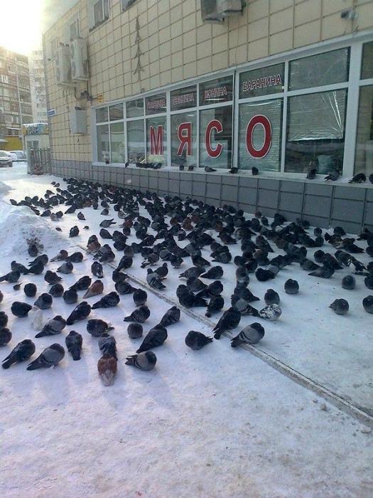 Суровые российские голуби едят исключительно мясо.
