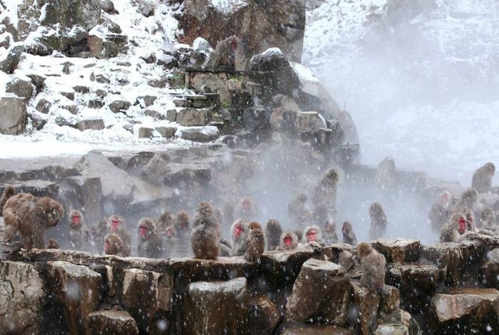 Горячие источники парка Джигокудани, где ежегодно зимуют и принимают ванны японские макаки.