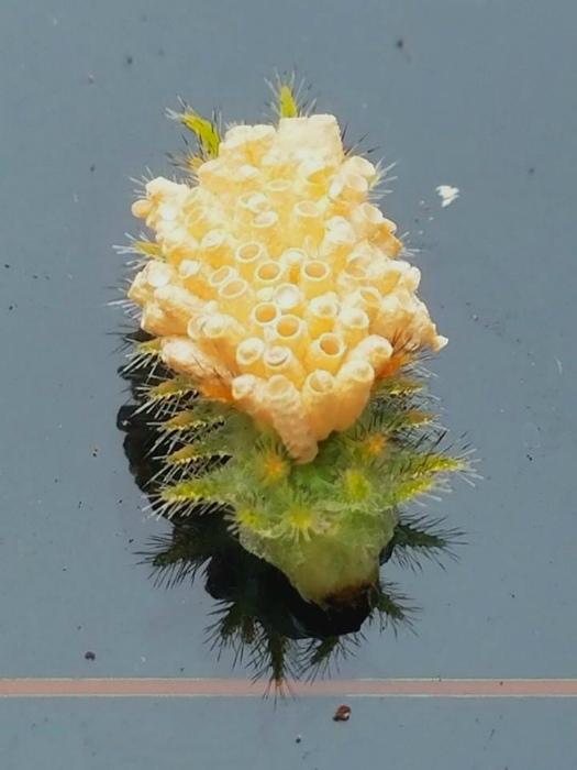 Гусеница, покрытая паразитическими яйцами.