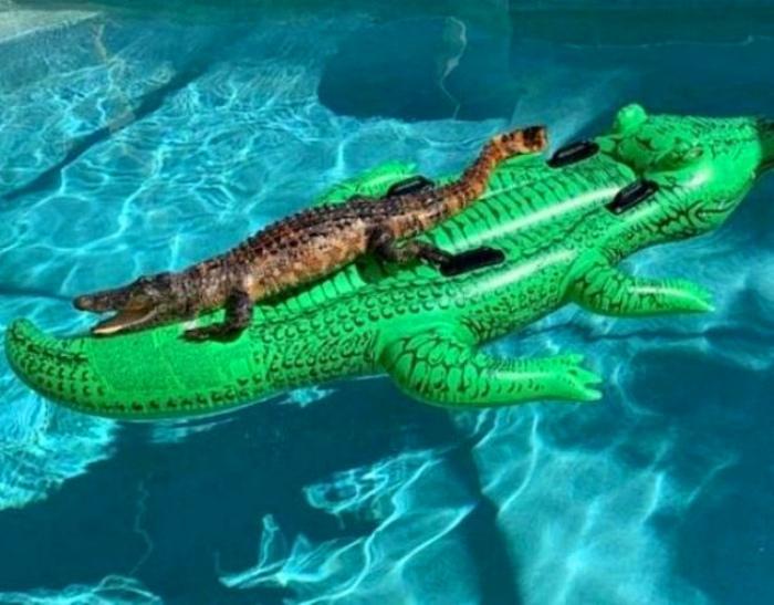 По мнению Novate.ru, два аллигатора в бассейне - это уже перебор! | Фото: Smiles TV.