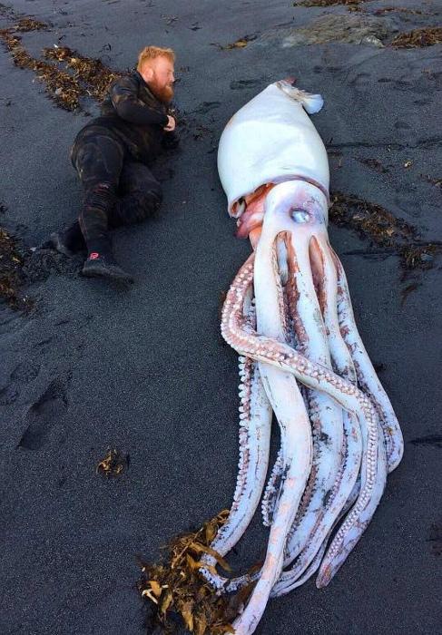 Гигантский кальмар в сравнении с человеком. | Фото: Onedio.