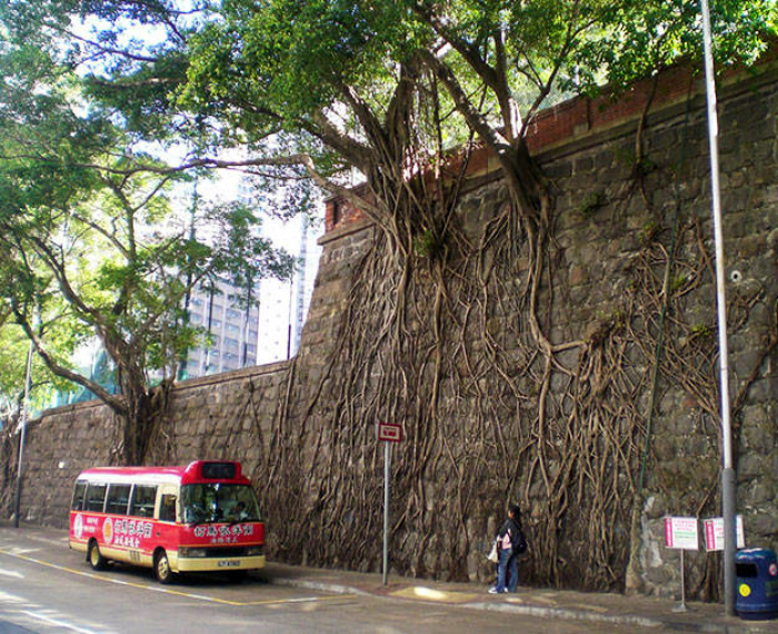 Корни деревьев в кирпичной стене.