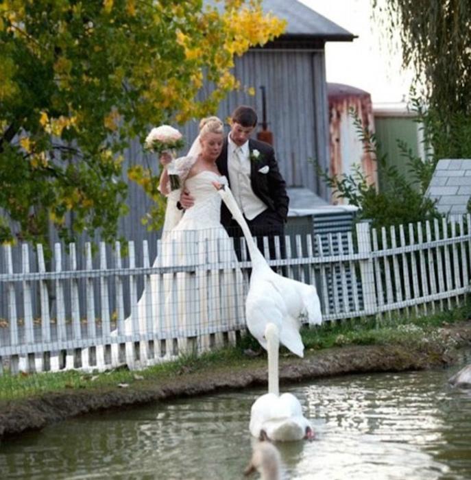 Лебедь против невесты. | Фото: Noticias y posts.