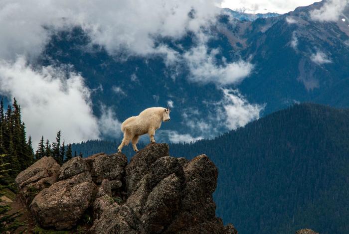 Величество горного козла.