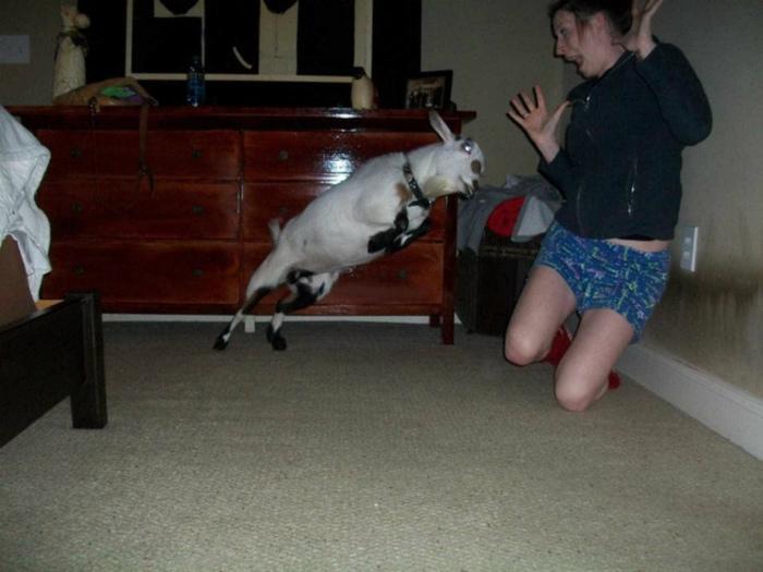 Кажется, коза сдурела.