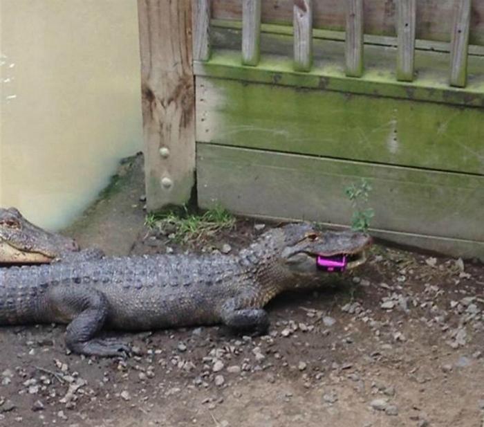 Щедрый подарок крокодилам.
