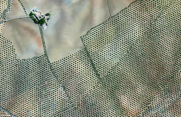 Плантация оливковых деревьев, покрывающих холмы провинции Кордова в Испании.
