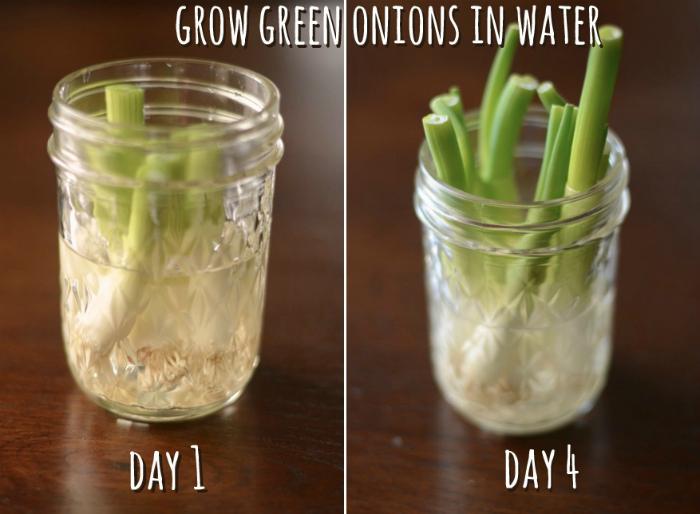 Если маленькие луковые корешки поставить в воду из них вырастет новый лук.